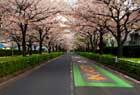 桜並木とサ、クラ。