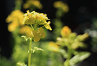 菜の花とEF28mm。