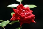 真紅のバラ。