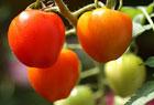 ハートの形、トマトベリー。