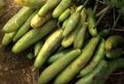 野菜収穫と雑草取り。