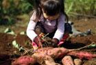 姪っ子とサツマイモ掘り。