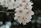 サクラ、咲く。SIGMA DP2編。
