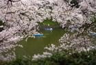 桜を撮る。TS-E24mm編。