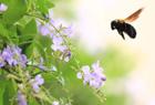 クマバチの訪問。