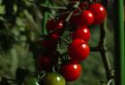 ミニトマト by DP2。