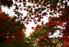紅葉の六義園2010、昼編。